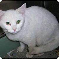 Adopt A Pet :: Snowbelle & Snowbaby - Chesapeake, VA