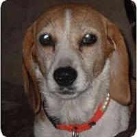 Adopt A Pet :: Little Debbie - Novi, MI