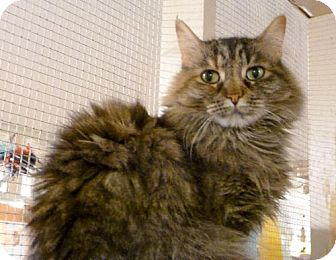 Domestic Longhair Cat for adoption in Westville, Indiana - Elizabeth