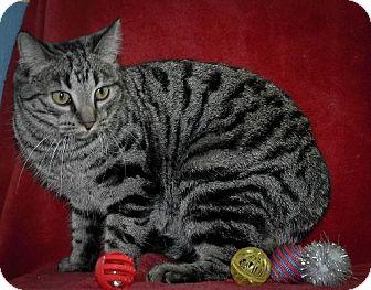 Domestic Shorthair Cat for adoption in Dublin, Virginia - India