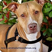 American Pit Bull Terrier Mix Dog for adoption in Garland, Texas - Mya