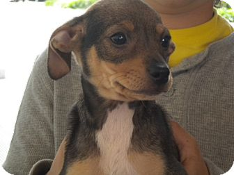 Chihuahua/Terrier (Unknown Type, Medium) Mix Dog for adoption in Fresno, California - Tinker