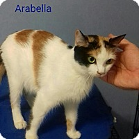 Adopt A Pet :: Arabella Declawed - McDonough, GA