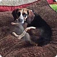 Beagle Dog for adoption in Louisville, Kentucky - Libby
