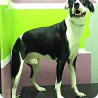 Adopt A Pet :: Banjo - Fort Collins, CO