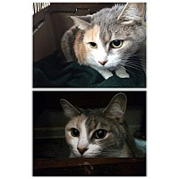 Adopt A Pet :: Coco - Indianapolis, IN