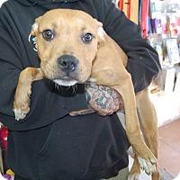 Adopt A Pet :: Will - Brooklyn, NY