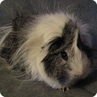 Adopt A Pet :: Peggy - Steger, IL
