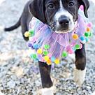 Adopt A Pet :: Helix (POM JS)