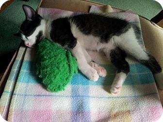 Domestic Shorthair Cat for adoption in Walled Lake, Michigan - Leonard