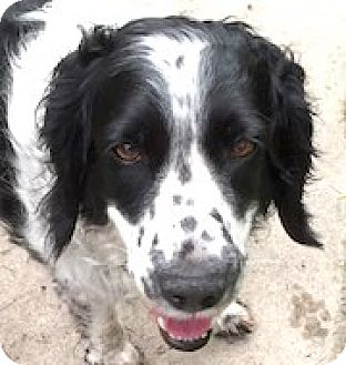 English Springer Spaniel Dog for adoption in Minneapolis, Minnesota - Shaker
