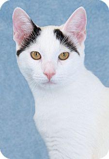 Domestic Shorthair Cat for adoption in Encinitas, California - Milano