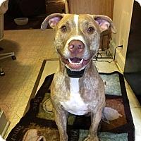 Labrador Retriever/Pit Bull Terrier Mix Dog for adoption in Norfolk, Virginia - SONNY