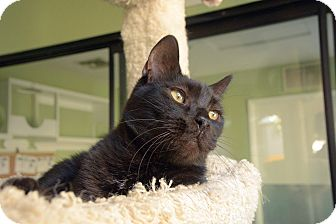 Domestic Shorthair Cat for adoption in Van Nuys, California - Shadow