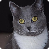 Russian Blue Cat for adoption in Mankato, Minnesota - Kylie