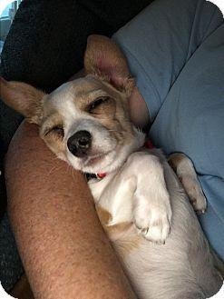 Chihuahua/Dachshund Mix Dog for adoption in San Diego, California - Tia