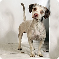 Adopt A Pet :: Derringer (Remy) Havanese - St. Louis, MO