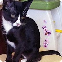 Adopt A Pet :: Super Cuddly Kittens: Clarice, Petunia and Strype! - Brooklyn, NY