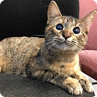 Domestic Shorthair Cat for adoption in Maryville, Missouri - Morta