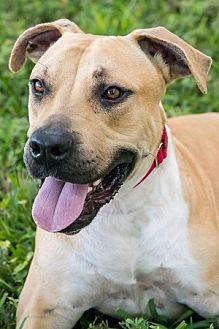 American Bulldog/Terrier (Unknown Type, Medium) Mix Dog for adoption in Miami, Florida - Luke