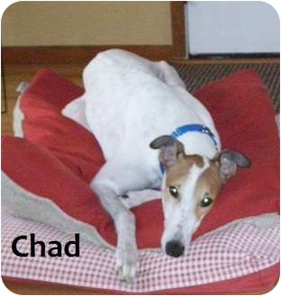 Greyhound Dog for adoption in Fremont, Ohio - Chad