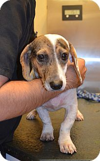Dachshund Mix Dog for adoption in Houston, Texas - Dulce