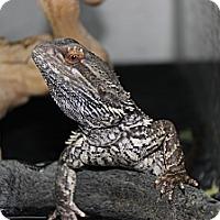 Adopt A Pet :: Beardie - San Clemente, CA
