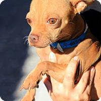 Adopt A Pet :: Shrek - Phoenix, AZ