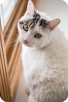 Domestic Shorthair Cat for adoption in Ridgway, Colorado - Kodiac