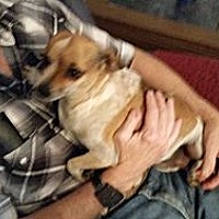 Chihuahua Dog for adoption in TAHOKA, Texas - FRECKLES