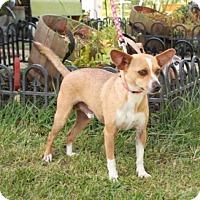 Adopt A Pet :: Apollo - Spring Valley, NY