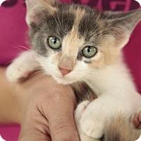 Calico Kitten for adoption in Davie, Florida - Rosetta
