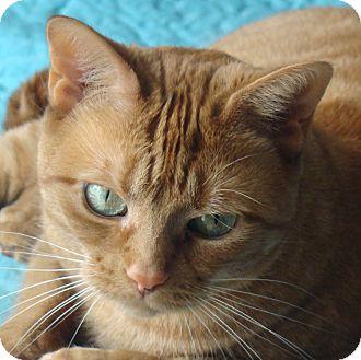 American Shorthair Cat for adoption in Toronto, Ontario - Marmalade