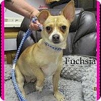 Adopt A Pet :: Fuchsia - Shawnee Mission, KS