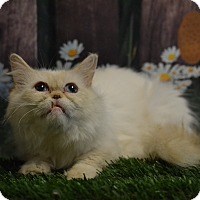 Adopt A Pet :: Butterscotch - Lebanon, MO