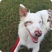 Australian Shepherd Mix Dog for adoption in Lockhart, Texas - Merle