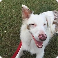 Adopt A Pet :: Merle - Lockhart, TX