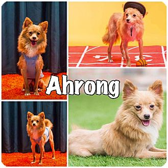 Pomeranian/Chihuahua Mix Dog for adoption in Smithtown, New York - Ahrong