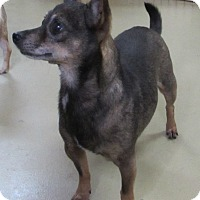 Chihuahua Dog for adoption in Jackson, Missouri - SPRINGER