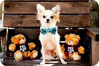 Chihuahua/Pomeranian Mix Dog for adoption in College Station, Texas - Mickey Mouse (4 pounds)