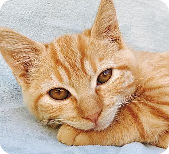 American Shorthair Kitten for adoption in La Jolla, California - Pumpkin