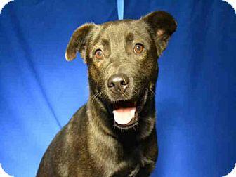 Labrador Retriever Mix Dog for adoption in Ocala, Florida - * ROWDY
