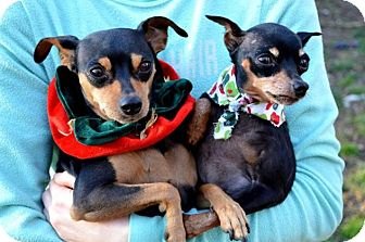 Miniature Pinscher Dog for adoption in Pittsburgh, Pennsylvania - Lil Sas&Carrie Lee-BONDED PAIR