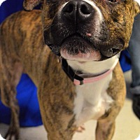 Boxer Mix Dog for adoption in Monroe, Michigan - Asher