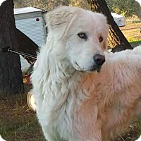 Great Pyrenees Dog for adoption in Vacaville, California - Aspen