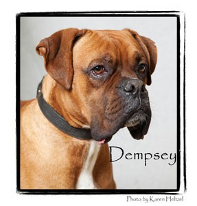Boxer Dog for adoption in Warren, Pennsylvania - Dempsey