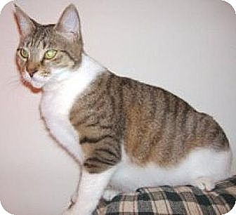 Domestic Shorthair Cat for adoption in Miami, Florida - Holly