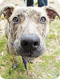 Shepherd (Unknown Type)/American Staffordshire Terrier Mix Dog for adoption in Detroit, Michigan - Nero-Adopted!