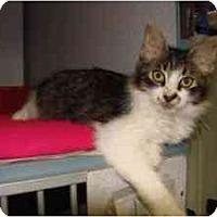 Adopt A Pet :: Victoria - Arlington, VA