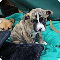 Adopt A Pet :: Baby Snickers - Marlton, NJ